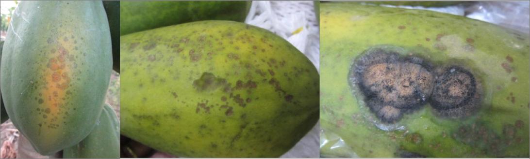 De maradol cultivo pdf papaya