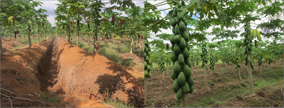 Resultado de imagen de cultivo de papaya fitosanidad