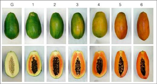 Cultivo De Papaya Maradol Pdf