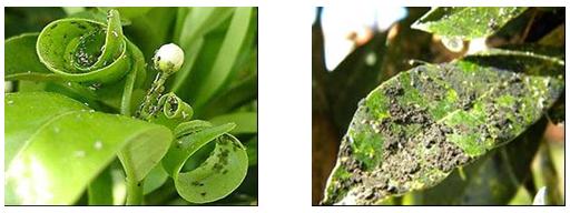 Pulg n de la espiga croplife latin america - Pulgon en plantas ...